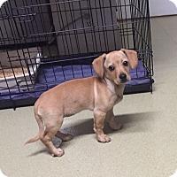 Adopt A Pet :: Whitley - North Hollywood, CA