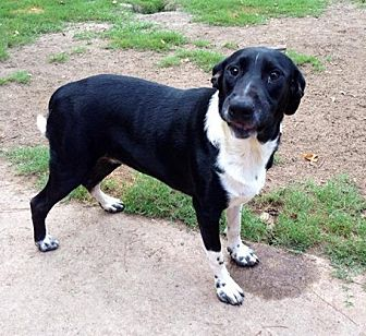 Border Collie/Labrador Retriever Mix Dog for adoption in Beaumont, Texas - Opal