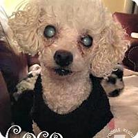 Adopt A Pet :: Coco - Essex Junction, VT