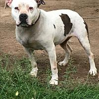 Adopt A Pet :: Lily - Staunton, VA