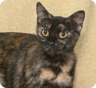 Domestic Shorthair Cat for adoption in Elmwood Park, New Jersey - Patches