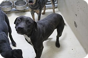 Pit Bull Terrier Mix Dog for adoption in Odessa, Texas - A09 LEXIE