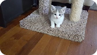 Domestic Shorthair Kitten for adoption in Statesville, North Carolina - Darla