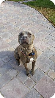 American Staffordshire Terrier/American Pit Bull Terrier Mix Dog for adoption in San Diego, California - Simba