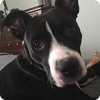 Adopt A Pet :: Hope - ST LOUIS, MO
