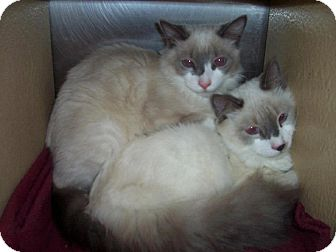 Domestic Shorthair Cat for adoption in Albany, New York - Ruben and Widget