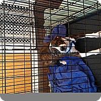 Adopt A Pet :: Cleo - Conway, AR