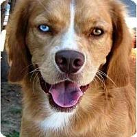 Adopt A Pet :: Sparky - Gilbert, AZ