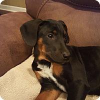 Adopt A Pet :: Daisy - Cranford, NJ