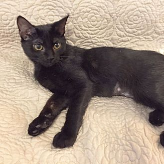 Domestic Shorthair Kitten for adoption in Arlington/Ft Worth, Texas - Coco