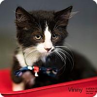 Adopt A Pet :: Vinny - Brockton, MA