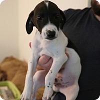 Adopt A Pet :: Dracula - Manassas, VA