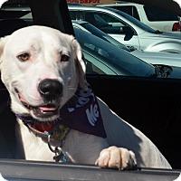 Adopt A Pet :: Tank - Bridgeton, MO