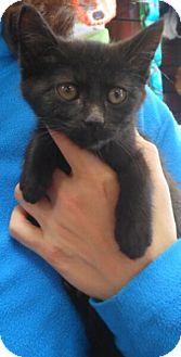 Domestic Shorthair Kitten for adoption in Reston, Virginia - Polly
