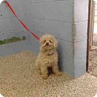 Poodle (Miniature) Mix Dog for adoption in San Bernardino, California - URGENT on 3/17 SAN BERNARDINO