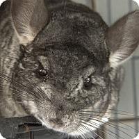 Adopt A Pet :: CHAMANTO - Boston, MA