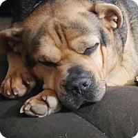 Adopt A Pet :: Nolan - Incline Village, NV