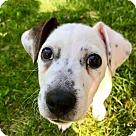 Adopt A Pet :: Arnold (RBF)