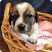 Terrier (Unknown Type, Medium)/Beagle Mix Puppy for adoption in Alpharetta, Georgia - MaryMagdalene