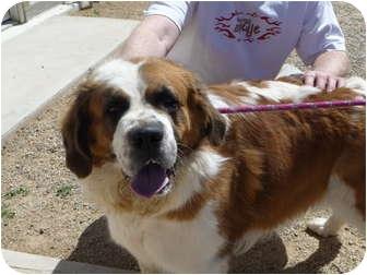 St. Bernard Dog for adoption in Glendale, Arizona - Callie
