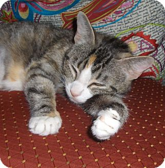 Domestic Shorthair Cat for adoption in Richmond, Virginia - Zena