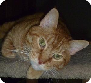 Domestic Shorthair Cat for adoption in Hamburg, New York - Evander