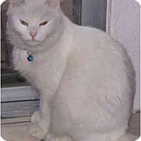 Adopt A Pet :: Snowball - Mesa, AZ