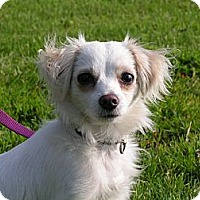 Adopt A Pet :: Michou - Rigaud, QC