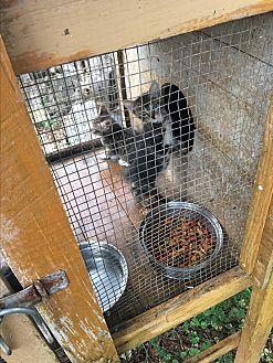 Domestic Shorthair Kitten for adoption in Panama City, Florida - Stubby