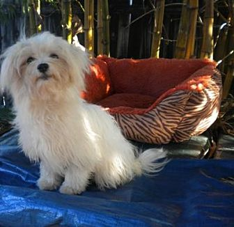 Maltese Dog for adoption in Fort Lauderdale, Florida - Meeya