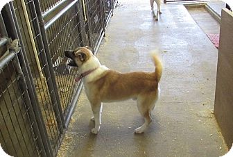 Akita Mix Dog for adoption in Walthill, Nebraska - Eddie