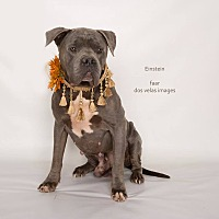 American Pit Bull Terrier Mix Dog for adoption in Riverside, California - Einstein