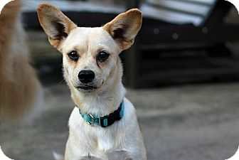 Chihuahua Mix Dog for adoption in Austin, Texas - Margarine