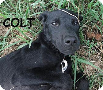 Labrador Retriever Dog for adoption in Batesville, Arkansas - Colt