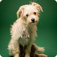 Adopt A Pet :: Winston - MEET HIM - Norwalk, CT