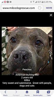 Staffordshire Bull Terrier/Labrador Retriever Mix Dog for adoption in Pompano Beach, Florida - Peaches