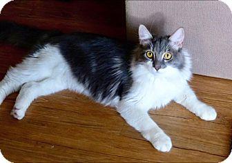 Domestic Mediumhair Kitten for adoption in Santa Clara, California - Kitten: Gray-ADOPTED!