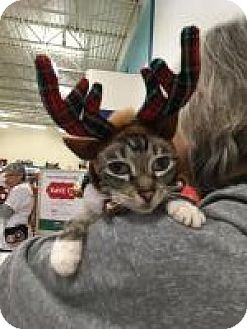 Siamese Cat for adoption in Tracy, California - Elf-ADOPTED!