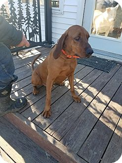 Redbone Coonhound Dog for adoption in Walthill, Nebraska - Red