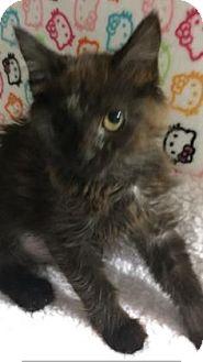 Domestic Mediumhair Kitten for adoption in Fountain Hills, Arizona - YAMI