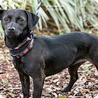 Adopt A Pet :: Sofie - Gainesville, FL