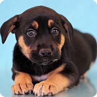 Adopt A Pet :: Hotdog - Waldorf, MD