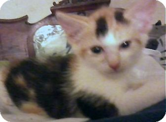 Calico Kitten for adoption in Jacksonville, Florida - Elke