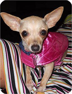 Chihuahua Dog for adoption in Hilliard, Ohio - Venus