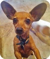 Chihuahua Mix Dog for adoption in AUSTIN, Texas - KOBI
