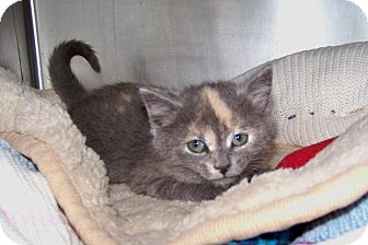 Domestic Shorthair Kitten for adoption in Dover, Ohio - Mercury