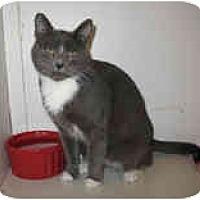 Adopt A Pet :: Lady Grey - Shelton, WA