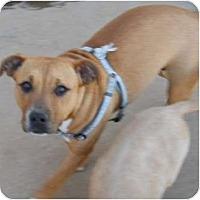 Adopt A Pet :: Scribbles - dewey, AZ