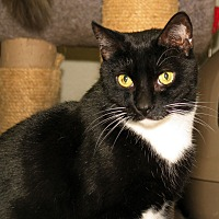 Domestic Shorthair Cat for adoption in Milford, Massachusetts - Felixx