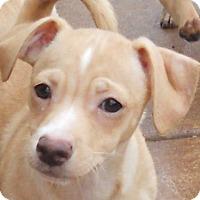 Adopt A Pet :: Baby Rochelle - Oakley, CA
